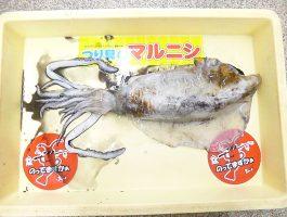 【和歌山釣果情報】由良でアオリイカ1.2kg!