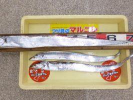【和歌山釣果情報】下津の太刀魚