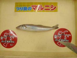 【和歌山釣果情報】青岸のキス