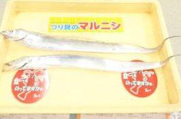 【和歌山釣果情報】青岸の太刀魚