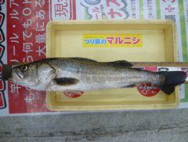 【和歌山釣果情報】シーバス