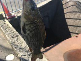 【鯉】休憩中にちょっと釣り。