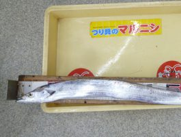 【田ノ浦のウキ釣りで太刀魚】 タチウオダービー!