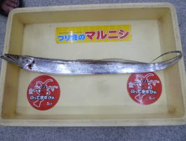 太刀魚の釣果!(太刀魚ダービー)