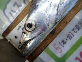 青岸の太刀魚!