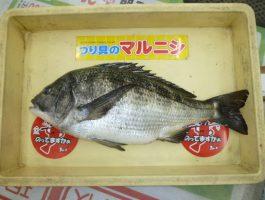 [チヌダービー]紀州釣りにて良型チヌ!