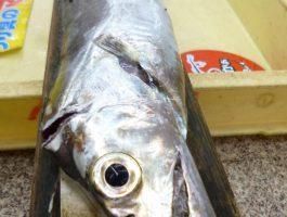 【和歌山市内釣果情報】ルアーでタチウオ