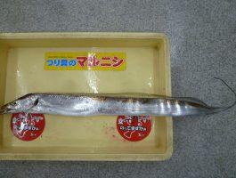 青岸の太刀魚