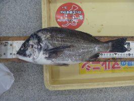【紀ノ川】チヌ39.0cm!