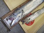 【和歌山市内釣果情報】まだまだ釣れてるようです。