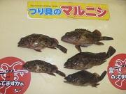 【和歌山市内釣果情報】水軒にてガシラ