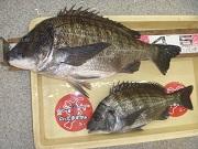 【和歌山市内釣果情報】青岸で50cm