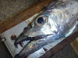 青岸で太刀魚