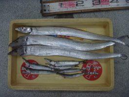 【中紀沖堤防】タチウオ釣れています