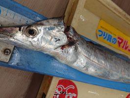 【タチウオダービー】塩津 の太刀魚釣果
