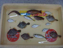 田ノ浦のカワハギ