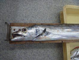 太刀魚ダービー