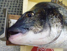【水軒のチヌ】 フカセ釣りにて