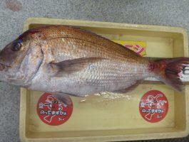 和歌山港で真鯛