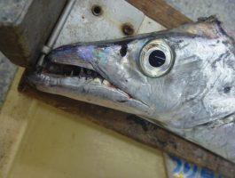メーターオーバー太刀魚