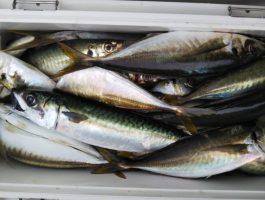 今週の紀北沖釣果