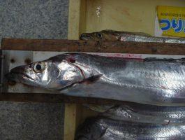 【太刀魚ダービー】水軒の太刀魚!