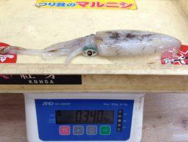 湯浅にてイカの釣果