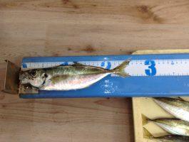 下津の釣り場にて アジの釣果